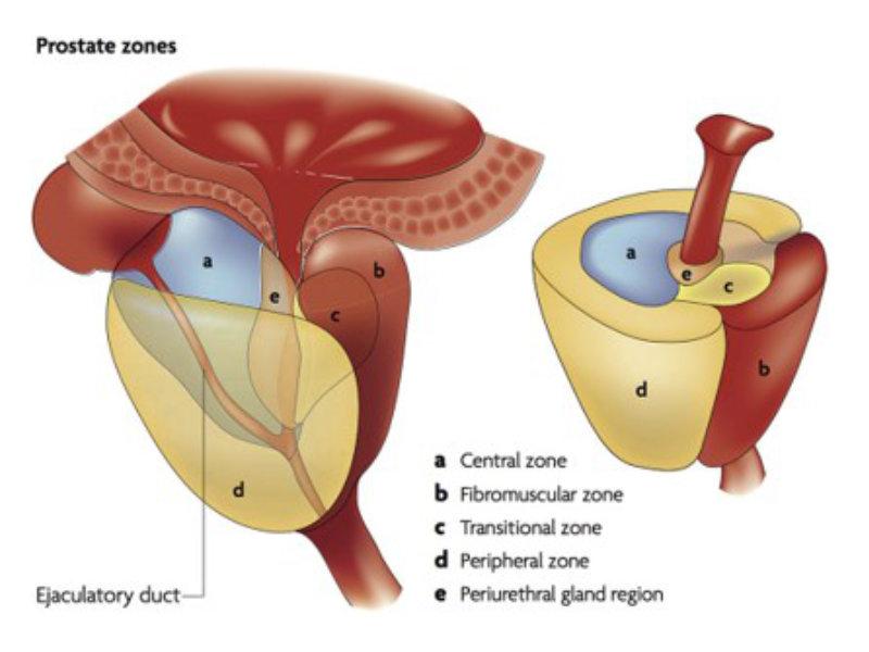 prostata anatomie zone